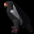 Bateleur Eagle (Terathopius ecaudatus).png