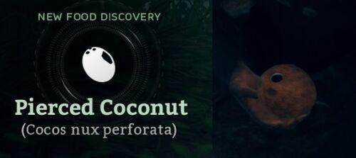 Pierced Coconut (Cocos nux perforata).jpg