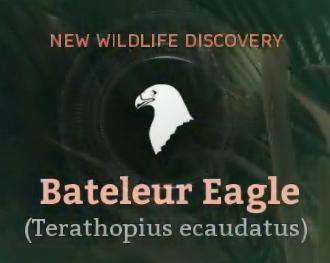 Bateleur Eagle.png