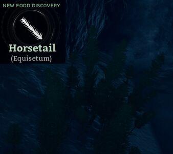 Horsetail (Equisetum).jpg