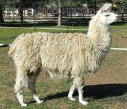 Sheepolvend