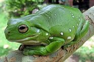 A plump frog