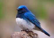 Синяя пташка