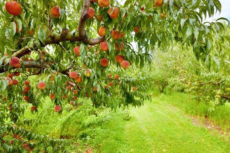 Peach orchard-2.jpg