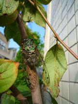 Robust cicada re.jpg