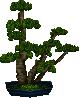 Pine bonsai set
