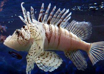 Zebra Turkeyfish Animal Crossing Wiki Fandom