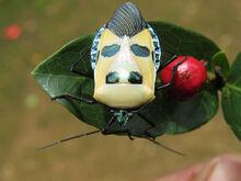 Man-faced stink bug.jpg