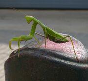 Majorca Mantis.jpg