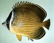 Chaetodon butterflyfish.jpg