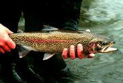 Rainbow trout-1-.jpg