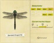 BandedDragonflyInsectopedia