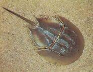Rea; horseshoe crab
