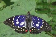 Great purple emperor butterfly.jpg