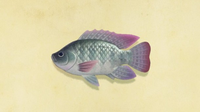 Tilapia NH Encyclopedia.png