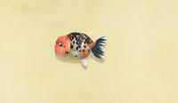 NH-ranchu-goldfish.png