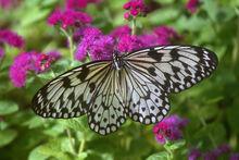Paper kite butterfly.jpg