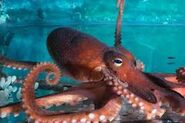 Real octopus