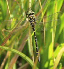 Banded Dragonfly.jpg
