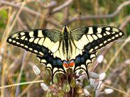 Tiger Butterfly.jpg