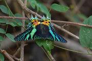 Madagascansunsetmothreallife.jpg