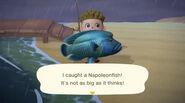 I caught a Napoleonfish! (NH)