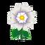 White Dahlias.png