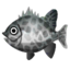 Fish ishigakidai.png