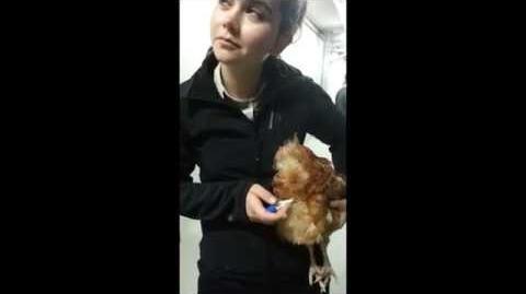 Taking a chicken's body temperature