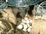 Mon Repos Turtle Conservation Volunteers