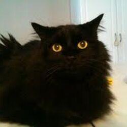 Black Donut the cat