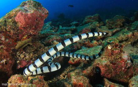 Shutterstock rich carey banded sea krait.jpg