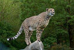Cheetah-3475778 1920.jpg