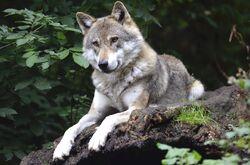 Wolf-1336229 1920.jpg