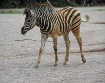 Equus-quagga-chapmani4