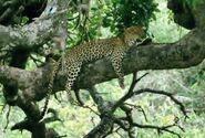 Panthera-pardus-suahelica