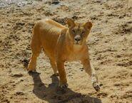 Panthera-leo-bleyenberghi6