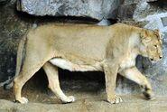 Panthera-leo-persica1