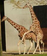 Giraffa-camelopardalis-reticulata6