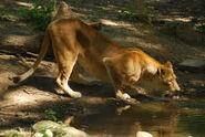 Panthera-leo6