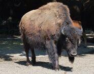 Bison-bison-athabascae6