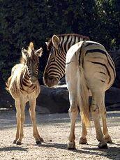 Equus-quagga-burchellii1