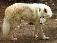 Canis-lupus-hudsonicus3
