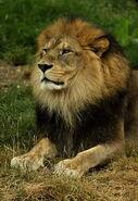 Panthera-leo-leo5