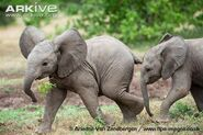 Loxodonta-africana7