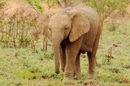 Loxodonta-africana4