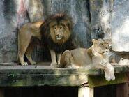 Panthera-leo-krugeri7