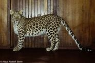 Panthera-pardus-sindica