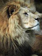 Panthera-leo-somaliensis3