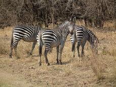 Crawshays zebra AZH2010 516